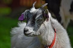 The cutest goat kid (L.Lahtinen) Tags: goat goatkid kili portrait vuohi suomenvuohi finland elin cute adorable sp suloinen kotielin kotielinpiha fauna nikond3200 55300mm nature luonto cutest sweet