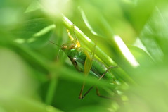 hidden in the green (ladybugdiscovery) Tags: insects katydid green noisy