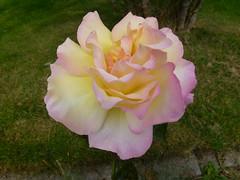 Rose ! (Mara 1) Tags: summer garden flower rose petals bloom outdoors head grass green