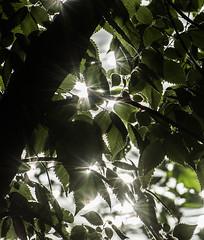Sparkeling Sunlight. (Omygodtom) Tags: sunlight light existinglight leaves abstract art outdoors natural nature nikon d7100 nikon70300mmvrlens green tree lens nikkor flickr