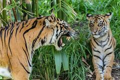 Joanne and Cathy (ToddLahman) Tags: sandiegozoosafaripark safaripark sumatrantiger babysumatrantiger canon7dmkii canon canon100400 escondido tigers tiger tigertrail tigercub joanne cathy