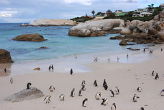 Penguins (alina gnerre) Tags: penguins cape town citt del capo escursione boulders beach southafrica sudafrica africa animals sea ocean