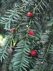 Yew berries (bryanilona) Tags: yew tree berries jubileegardens bewdley shropshire citrit