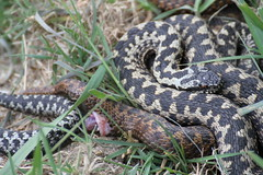 Mating adders - Surrey (ChristianMoss) Tags: adder vipera berus surrey snake canon wildlife reptile