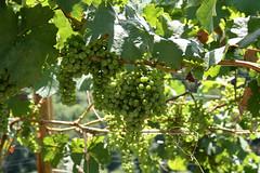 ckuchem-1444 (christine_kuchem) Tags: ahrtal anbau anbaugebiet eifel felsen grn schiefer schieferfelsen sommer weinanbau weinberg weintraubenanbau reif weintrauben