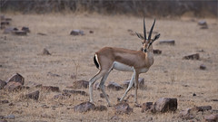 Indian gazelle (Raymond J Barlow) Tags: indiatour gazelle wildlife workshop travel phototours raymondbarlow ranthambore