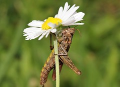 Umbrella (ashperkins) Tags: grasshopper daisy eos7d efs100mmf28lmacro ashperkins bbcwalesnature closeup macro graig glanconwy northwales