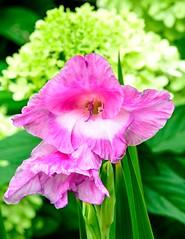 Gladiola, pink (vern Ri) Tags: pink flowers fleurs flora nikon d750 plants summer garden