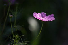 Cosmos (mclcbooks) Tags: flower flowers floral cosmos denverbotanicgardens colorado summer backlight backlighting backlit pink