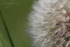 Dandelion (Foto-Aestheticus) Tags: dandelion blowball seed head seedhead flower blossom jinnyjoe pusteblume plant close closeup macro macrophotography nature naturephotography outside outdoor silver green hair seeds