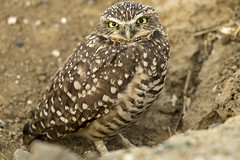 255/366  Burrowing owl (pointnshoot) Tags: canonef500mmf4lisiiusm burrowingowl project365