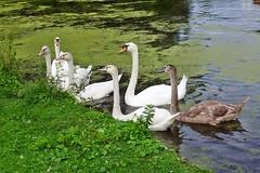 eine Schwanenfamilie in der Rheinaue in Bonn (mama knipst!) Tags: schwan swan vogel bird rheinauebonn