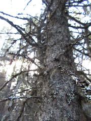 denali - AK - USA (Greenes Music) Tags: mossy forest alaska bark blurry focus grey
