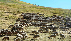 Camminando in montagna-   Walking in the mountains (giovanni tiezzi) Tags: montagna passeggiata prato gregge pecore pascolo italia mountain meadow walk sheep pasture italy