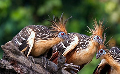 hoatzin5 (julius.badayos) Tags: amazonbasin madrededios opisthocomushoazin peru perubirds peruwildlife riomadrededios southamerica bird birds forest hoatzin lago lagohuitoto lake oxbow oxbowlake rainforest wildlife