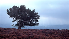 longstone moor (Ron Layters) Tags: tree longstonemoor heather badweather moor watershawrake showers rain moorland horizon landscape greatlongstone peakdistrict england derbyshire thepeakdistrict unitedkingdom slidefilmthenscanned slide transparency fujichrome velvia leica r62 leicar62 ronlayters
