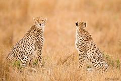 Opposites (prajwal_km) Tags: cheetah pair mother face grass land africa kenya masai mara