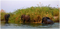 River Safari - Zambezi River - Livingstone - Zambia (lagergrenjan) Tags: river safari zambezi livingstone zambia elephants