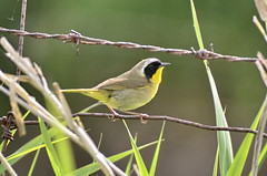 Common Yellowthroat (glenbodie) Tags: glen bodie glenbodie 201619 colony common yellowthroat
