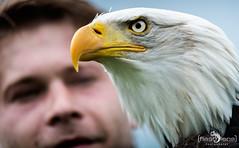 Falknerei Bergisch Land 042 (flashlens_ek2012) Tags: falknerei eagle seaeagle adler seeadler weiskopfseeadler