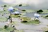 아름다운 연꽃 (hoyaphoto) Tags: 꽃 식물 그린 아름다운 연꽃 연못 flower green beauty pond lotus