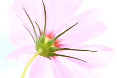 C.O.S.M.O.S. (tt.water) Tags: pink petal macro canon autumn flower cosmos