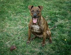 Demanding (Maggie McGunigle) Tags: outdoor dog fetch animal pet ball balls tennis catch activity brindle mix mutt jack russell energy grass yard love petrait portrait