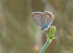 Farfalla - Icaro (Darea62) Tags: polyommatus icarus butterfly common blue icaro insect slta77 animal wings vivitar argo