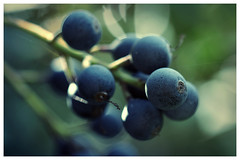 Wild Blue Berries (djshanu) Tags: wild blue berries blueberries nature shallowdepthoffield shallow macro macrophotography macrounlimited 100mm 100mmf28l