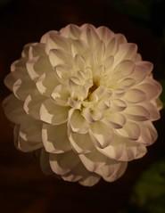 IMG_8198 (ColinKouffeld) Tags: white whiteflower gigantflower flower dahlia
