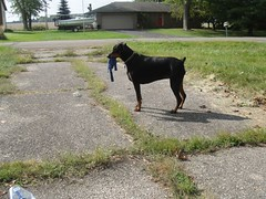 1474725900_2016_Sep_24_10-05-00_kongxx628 (yclept8) Tags: doberman julie