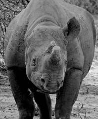 Van Gogh (japankatze) Tags: spitzmaulnashorn blackrhino sdafrika southafrica sugetiere mammals ohr