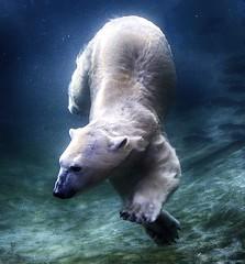 on the prowl (ucumari photography) Tags: ucumariphotography polarbear ursusmaritimus oso bear animal mammal zoo osopolar ourspolaire oursblanc eisbr sbjrn orsopolare  aurora columbus ohio january 2013 dsc0044 specanimal