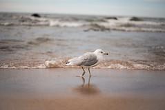 Beach stroller (christinemcroberts) Tags: photography lens 50mm nikond750 nikkor50mm14 nikon waves beach waterlake bird ontarioprovincialpark provincialpark ontario lake georgianbay seagull seagulls