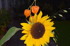 Bouqet Sunflower and Lampion 18.09 (8) (tabbynera) Tags: bouquet sunflower lampion