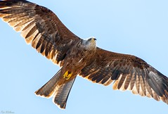 Red in Flight (PeteWPhotography) Tags: red kite soar fly sunlight wing feather