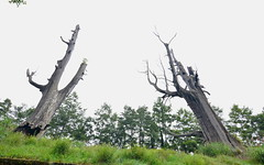 南投玉山塔塔加-夫妻樹-2 (ckenfu) Tags: 夫妻樹 玉山 塔塔加 神木