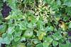 Neuseeländer Spinat (fromourgarden) Tags: bodendecker gartenbau gemüsegarten kitchen garden mischkultur tetragonia tetragonoides neuseeländer spinat