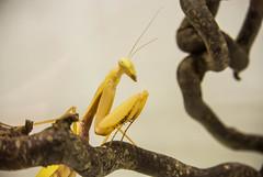 DSC_1943 (xav_roberts) Tags: praying mantis yellow mantid inset animal entomology amateur nikonv1