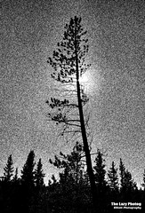 Sept 20 2016 - Starry starry night (lazy_photog) Tags: lazy photog elliott photography lodgepole pine tree high contrast sun back lite bighorn mountains wyoming filters 092016titusandthebighornmountains