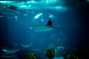 Devil Fish 2 - Oceanario Lisbona (antoniosimula) Tags: oceanario lisbon lisbona lisboa portogallo portugal area expo fish flora fauna nikon d3200 35mm 70300 tamaron ocean species pacific atlantic indian