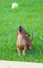 Day 273 (rendezvousnu) Tags: fetch ball doxie miniaturedachshund dachshund projecteulalie project365 eulalie