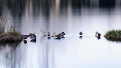 Paperotten (albi_tai) Tags: reflection water river reflex ticino nikon fiume uccelli movimento acqua riflessi luce fila mosso d90 lungaesposizione 21100 sommalombardo lte fiumeazzurro panperduto nikond90 tempilunghi albitai
