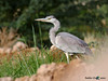 The Grey Heron ~ البلشون الرمادي (Badder AlQasimi) Tags: green bird heron grass birds canon grey wildlife uae alain الإمارات greyheron العين طير طيور كانون الرمادي البلشون خصيفي الحياةالبرية البلشونالرمادي