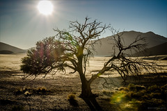 Revival ([P]hotogr[AV] (on/off)) Tags: tree sunrise landscape desert boom namibia landschap woestijn namibie dune45 zonsopkomst namibnaukluftnp
