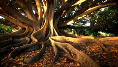 Rooted (BrightStar Photography) Tags: trees roots wideangle perth kingspark westernaustralia moretonbayfig sigma1020mm perthwa canon7d