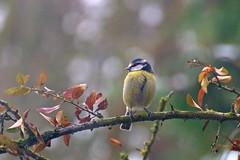 Taking stock (Treflyn) Tags: uk blue wild food bird garden reading back tit berkshire searching earley