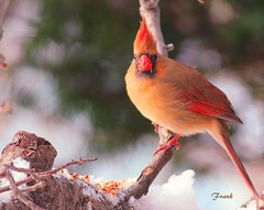 Female Cardinal (frank1556) Tags: female cardinal