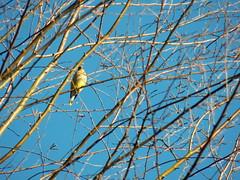 I shot this last year on 1/28/12.  Today is 1/28/13 (I'magrandma) Tags: tree bird bluesky birch cedarwaxwing 2012 lastyear kodakz990 newtoyard