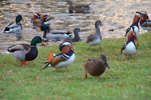 lake garden duck ducks mandarina sanssouci dandarina anatidenphobie anatidenphobia